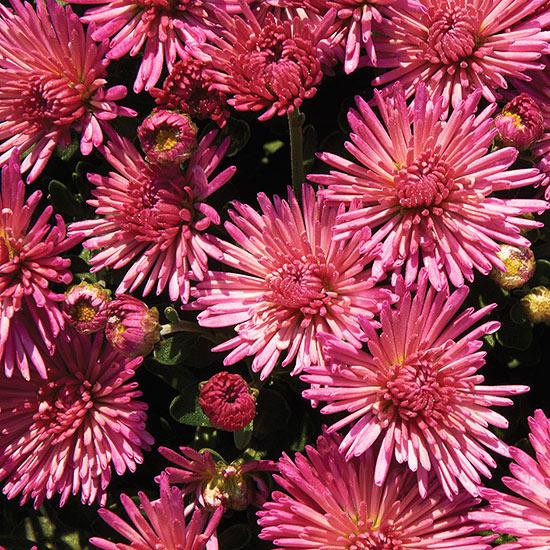 Многолетние цветы, переносящие жару-Хризантема «Фейерверк Igloo»