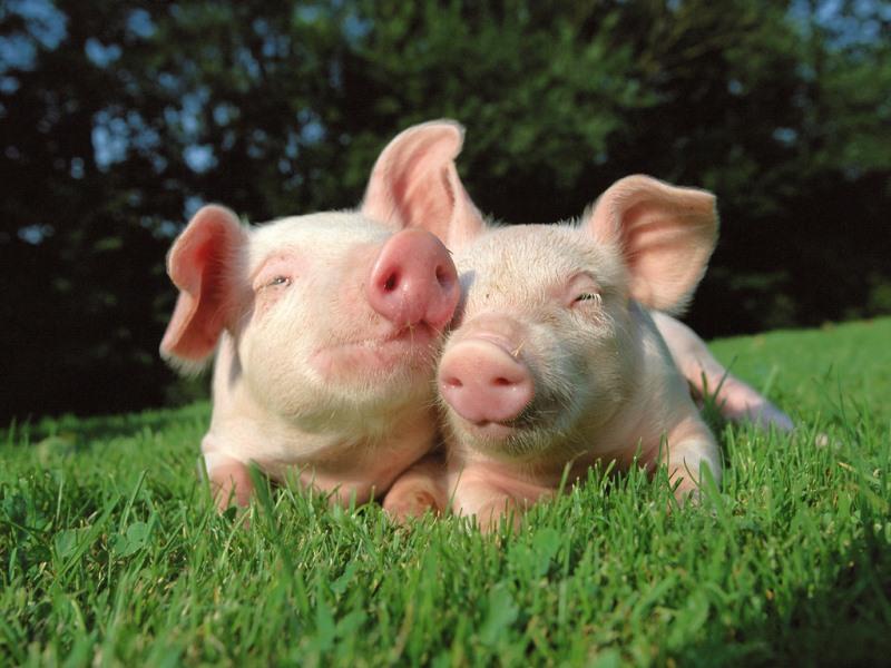 симптомы болезней свиней
