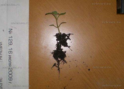 Корневая система сеянца картофеля.