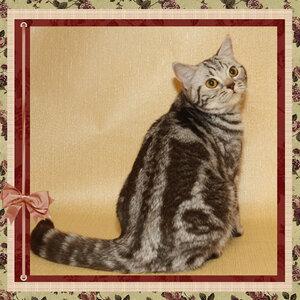 БравоБРИ Фея-Динь bs22 британская короткошерстная кошка шоколадного серебристого мраморного окраса