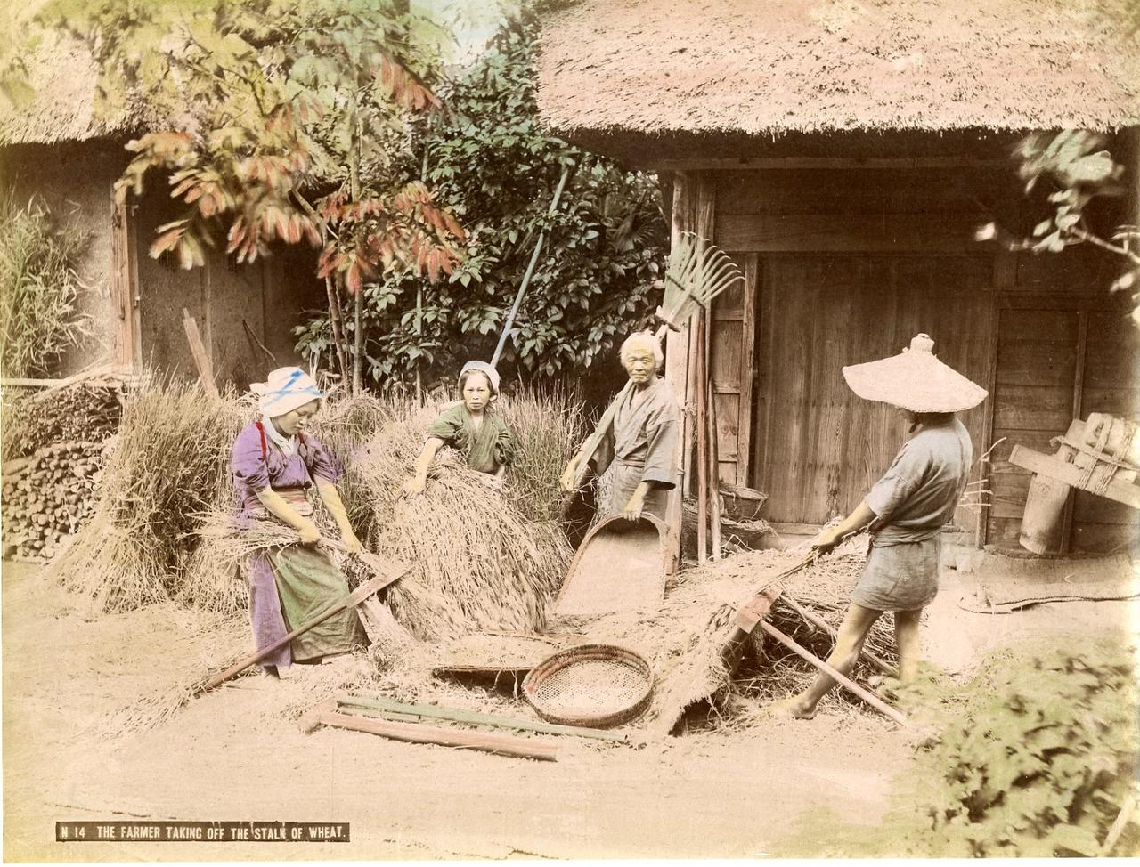 Крестьяне обрезают стебли пшеницы