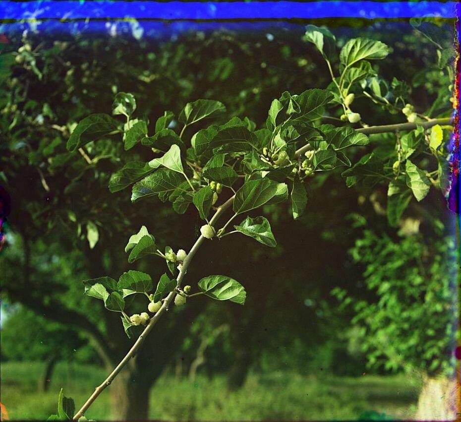 Окрестности Мерва. Близ Байрам-Али. Тутовые ягоды