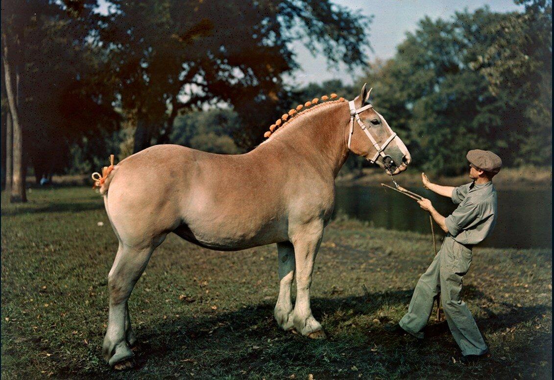 1939. США. Эта кобыла выиграла голубую ленту на выставке лошадей в Ватерлоо, штат Айова