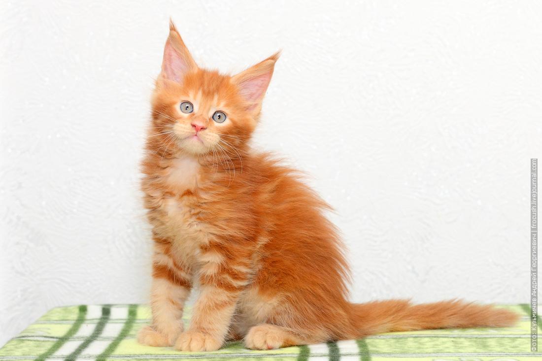 красный котенок Мейн-кун питомник продажа