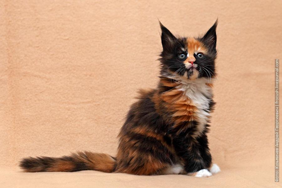 менй-кун котенок фотография