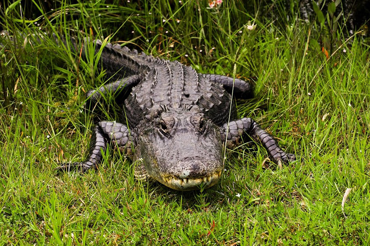 An alligator under the weather, or what? Shark Valley Loop, Everglades National Park, Miami-Dade, Florida, USA