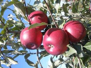 россия будет закупать яблоки из Турции вместо Польши и Молдовы