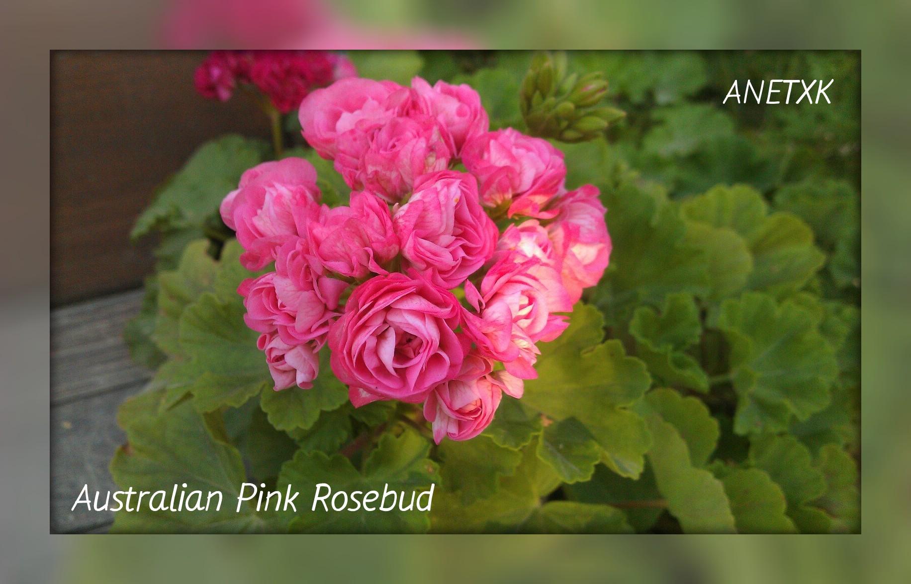Австралиан пинк розебуд особенности выращивания 55