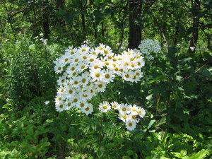 Поповник щитковый (Pyrethrum corymbosum)