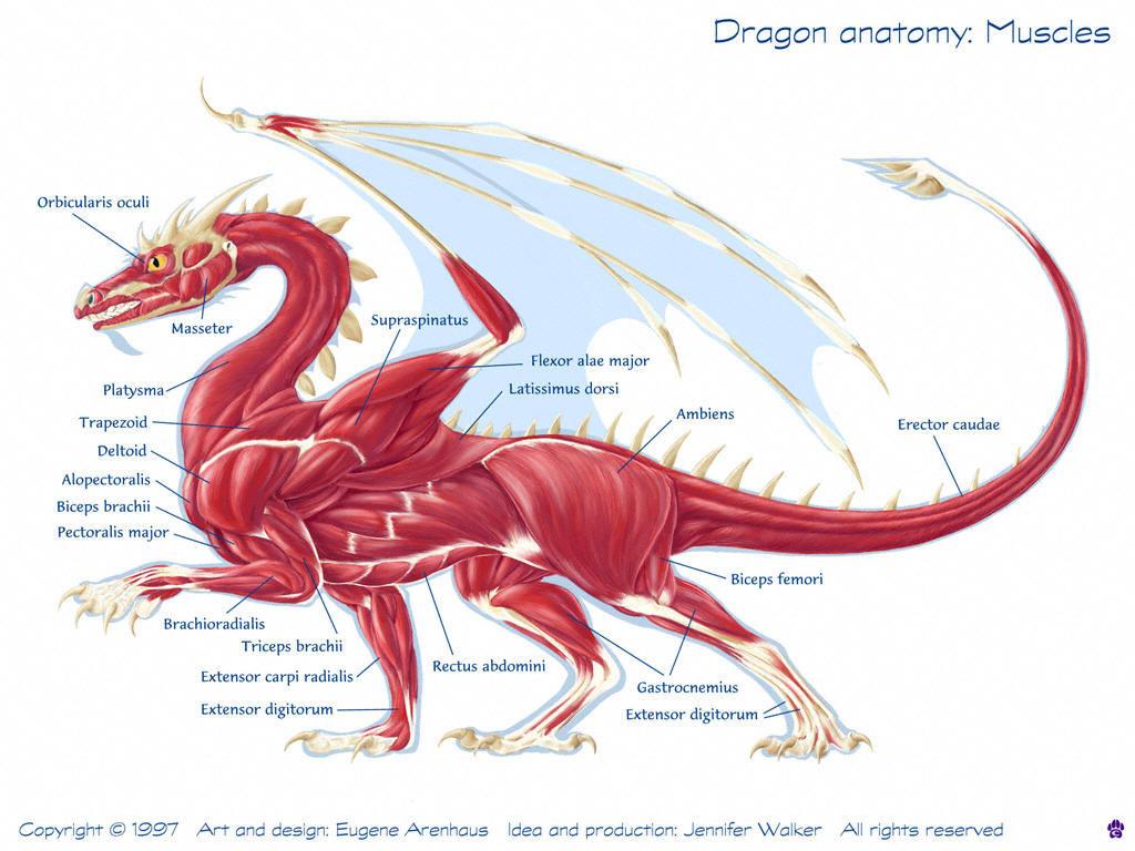 western-dragon-muscles.jpg