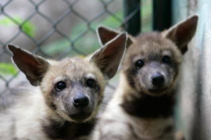В японском зоопарке на протяжении четырех лет пытались спарить гиен-самцов