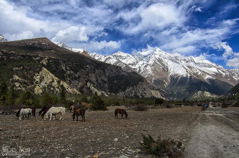 Стадо лошадей посется в горах, природа, гималаи, непал