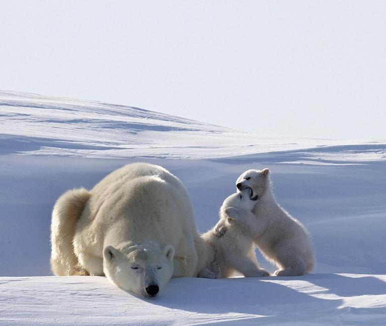 медведица с двумя медвежатами белые медведи