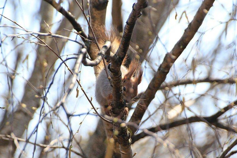 Белка слизывает берёзовый сок, сидя на ветках дерева. Сок течёт из трещин в коре берёзы.
