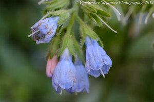 Окопник кавказский (Symphytum caucasicum)