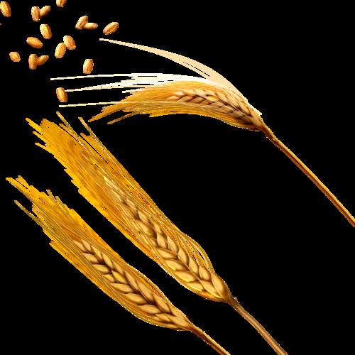 Колосья пшеницы.