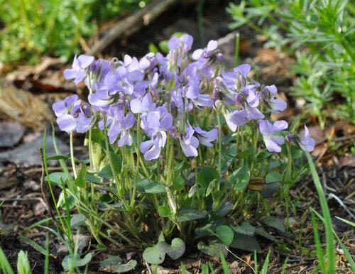 Фиалка скальная (Viola rupestris) Автор фото: Владимир Брюхов