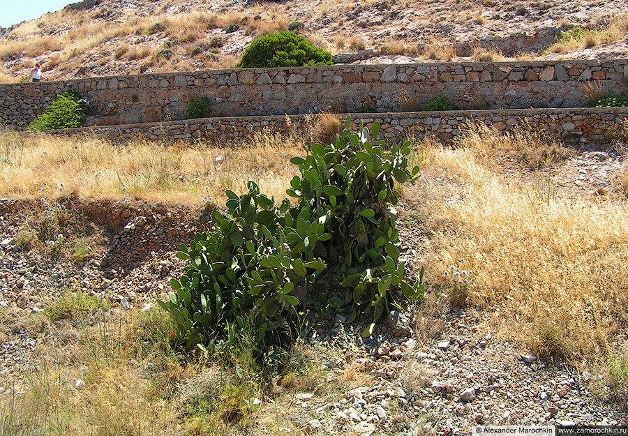 Кактусы растут на острове Спиналонга
