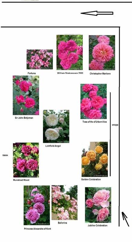 С чем сажать розы остина 89