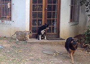 Видео из жизни львенка набирает популярность в сети