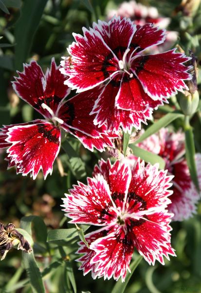 Какие цветы можно посадить под зиму - 20 однолетников--Китайская гвоздика