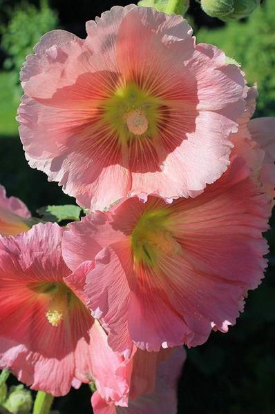 Какие цветы можно посадить под зиму - 24 многолетника-Мальва