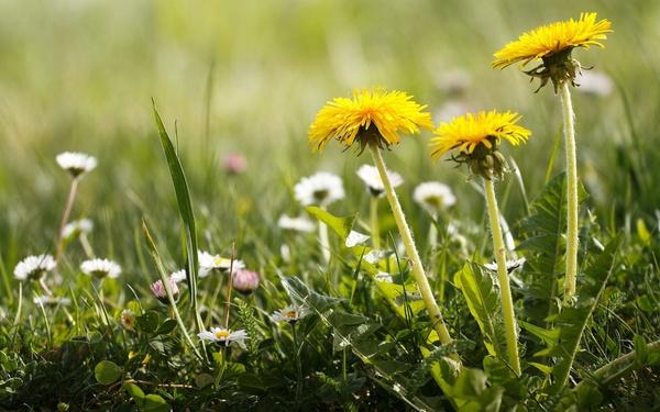 много одуванчиков цветы