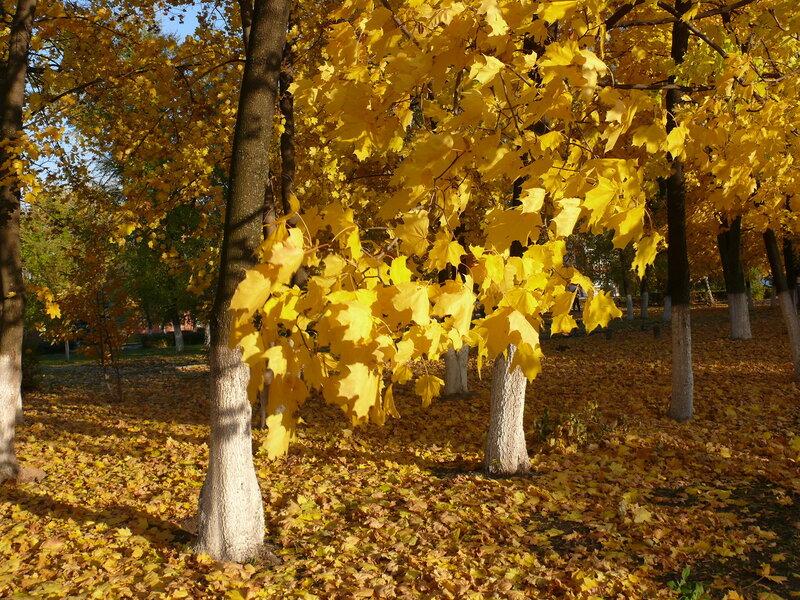 клены - самые красивые деревья осенью.JPG