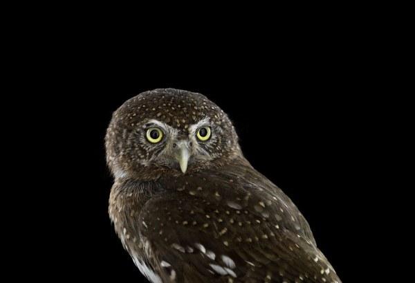 Shikarnye-mudrye-sovy-v-fotoproekte-Breda-Uilsona-Brad-Wilson-18-foto