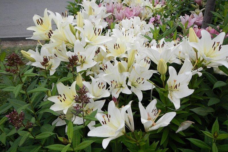 Белые лилии в парке им. Горького