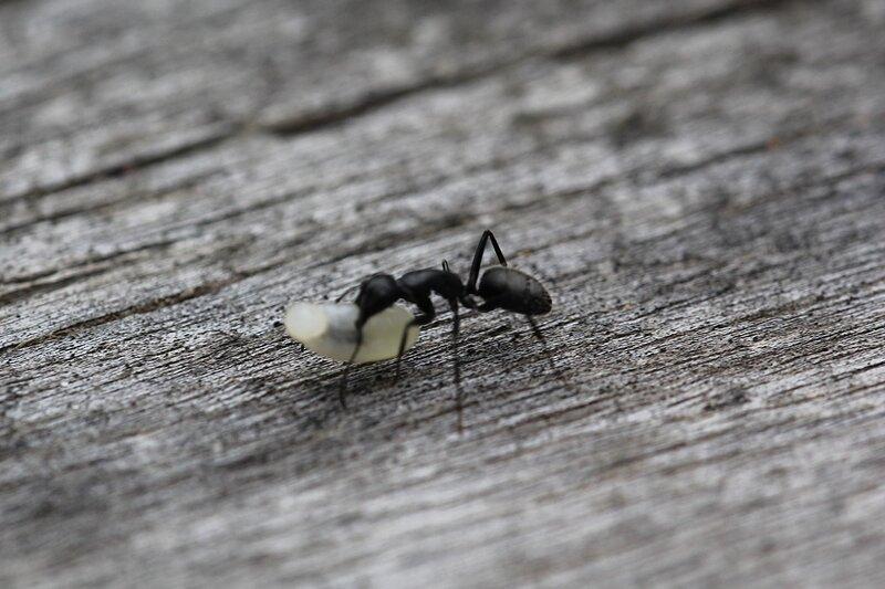 рабочий бурый лесной муравей (Formica fusca) тащит яйцо