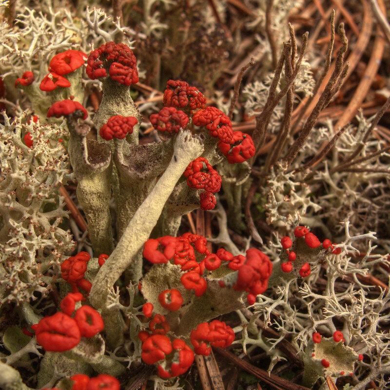 Кладо́ния (лат. Cladonia) — род лишайников