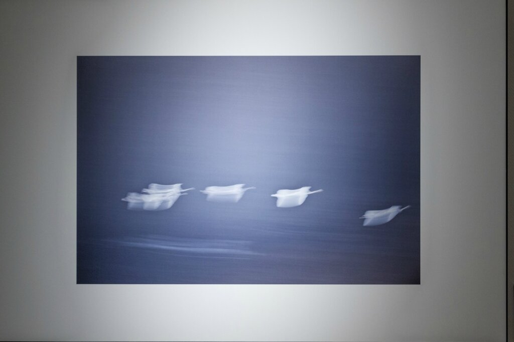 Сюй Дацин. Лебеди, фотография
