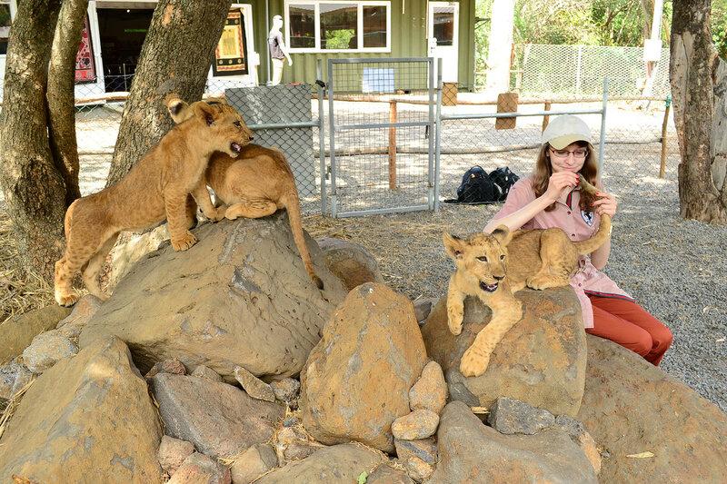 Львята в питомнике, Маврикий