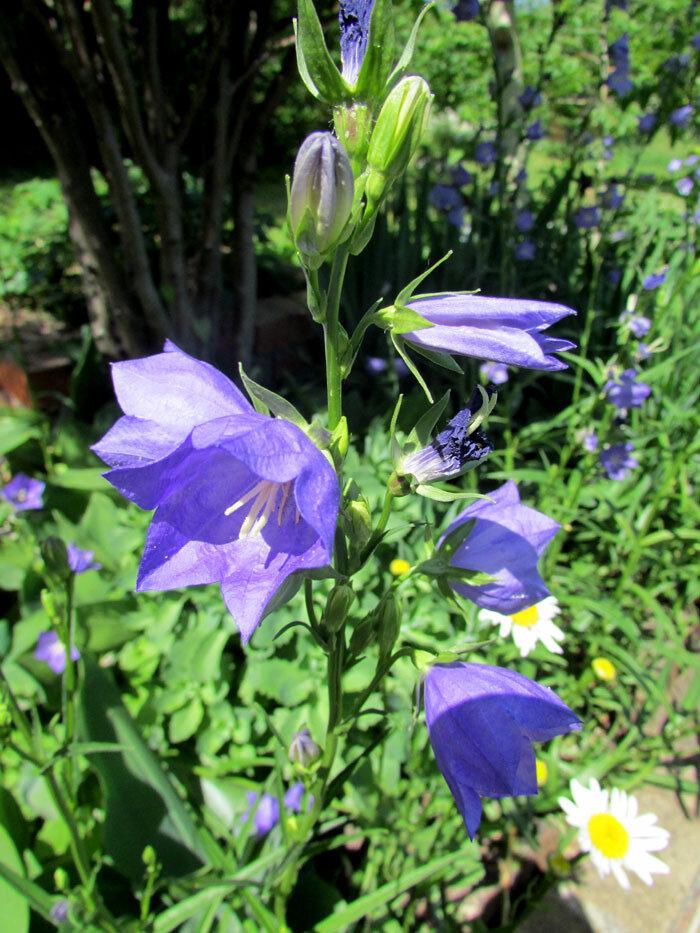колокольчик синий Изображение 062.jpg