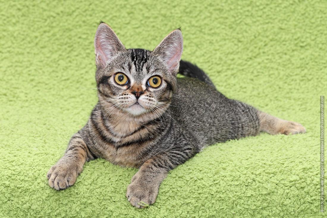 москва продажа Бомбейских котят