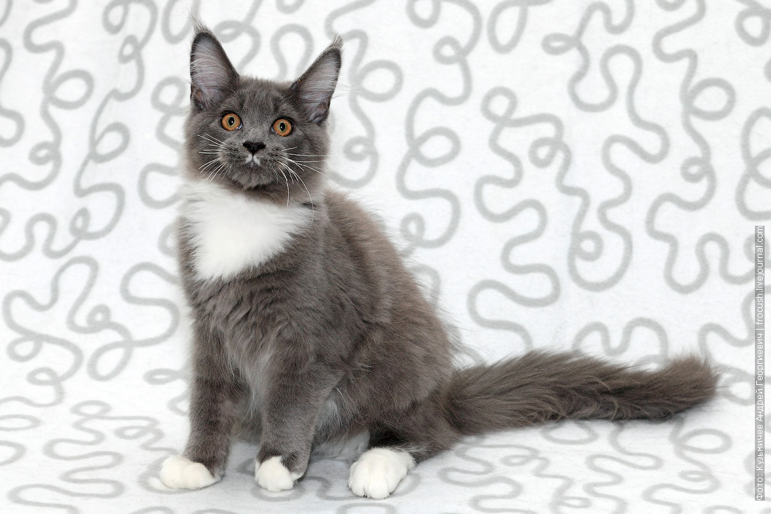 котенок мейн кун в москве продажа