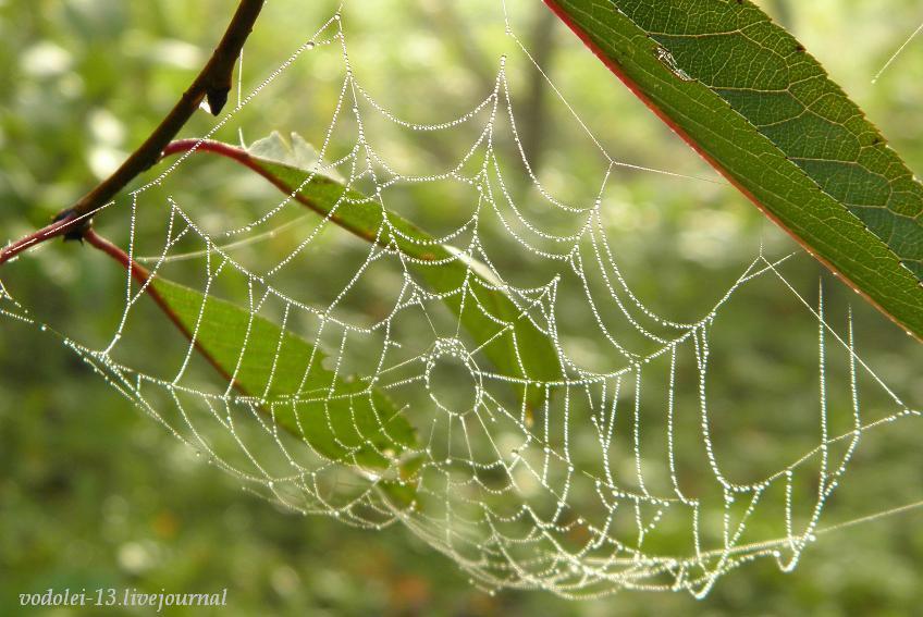 паутина в росе