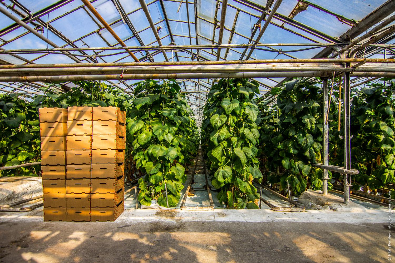 Выращивание огурцов в зимней теплице как бизнес 7