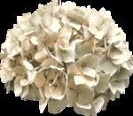 Lilas_Hydrangeas-fragrance_elmt (21).png