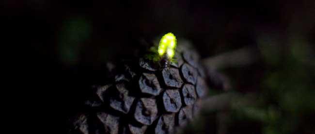 Светлячки в режиме длительной экспозиции. Фото: ©Yuki Karo, ©Yume Cyan, ©Tsuneaki Hiramatsu
