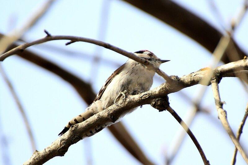 Малый пёстрый дятел (лат. Dendrocopos minor либо Picoides minor) на ветке дерева