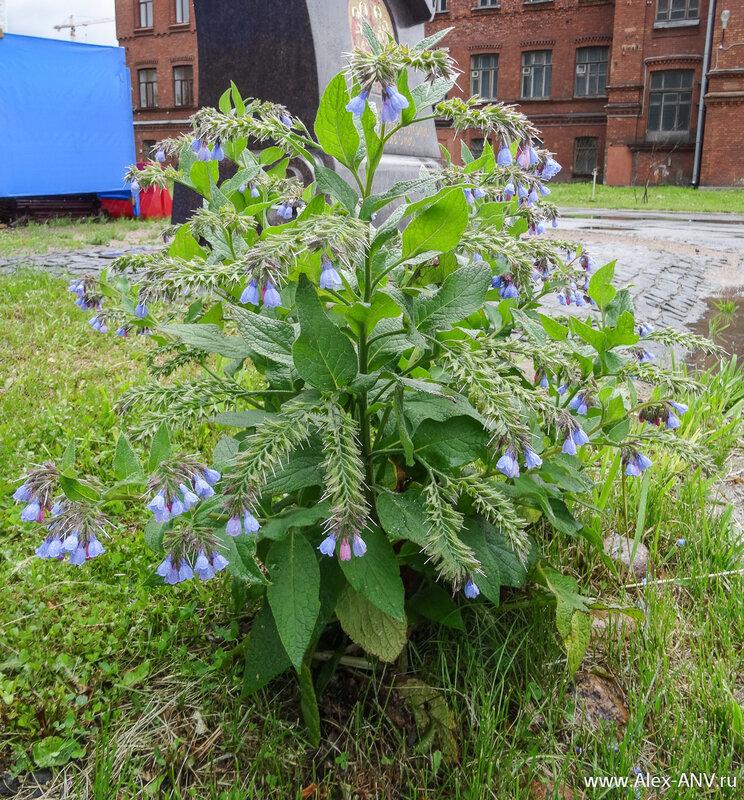 А рядом с памятником растёт вот такой удивительно красивый, но очень одинокий кустик.
