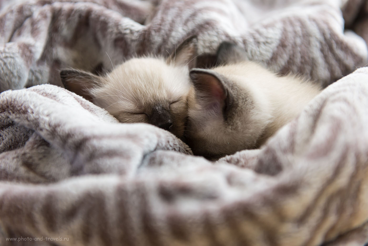 Фотография 18. Тяжело дается фотосессия. Спят усталые зверушки... Как фотографировать котят на продажу (1000, 70, 2.8, 1/320)