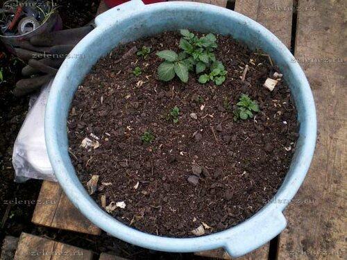 А так в это же время выглядит вторая волна ростков от картофеля Фиолетик.