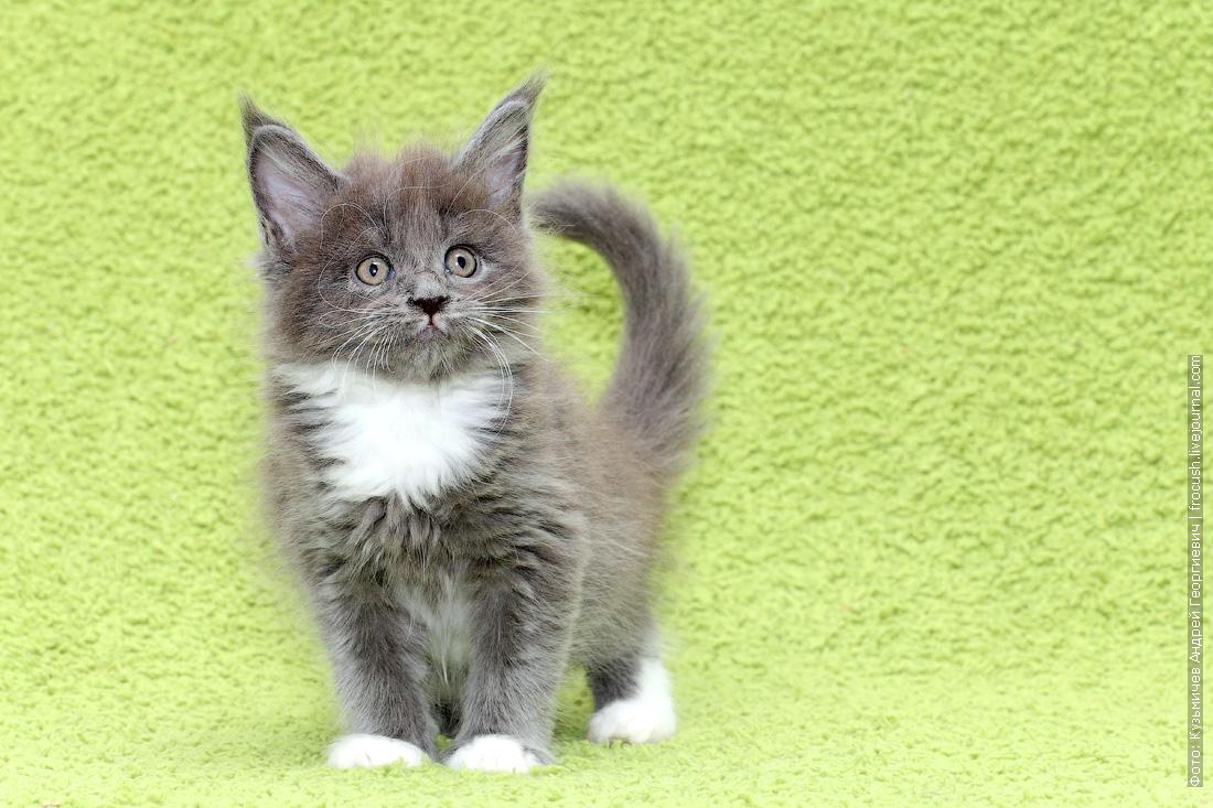 мейн-кун котята фото