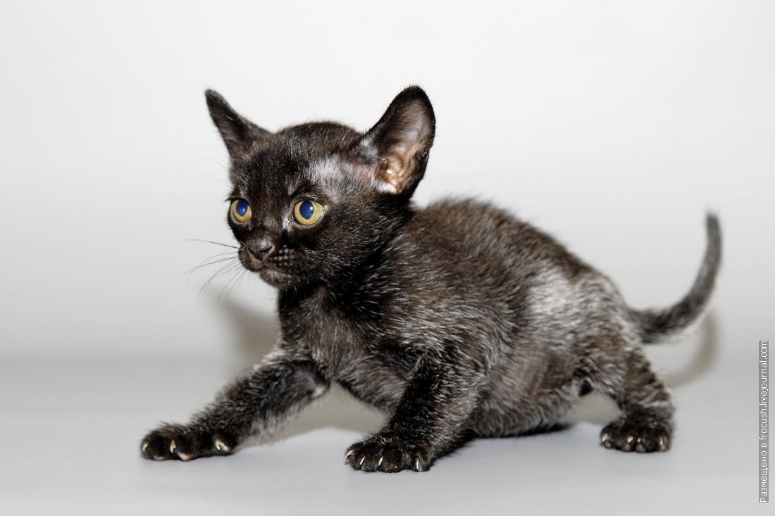 бомбейский котенок мальчик