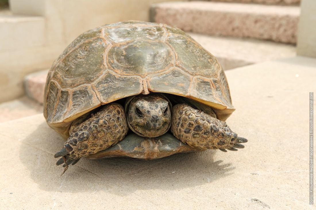 Мангышлак черепаха