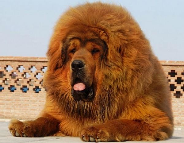 Питомник Mastif Way: мастиф – один из лучших друзей человека