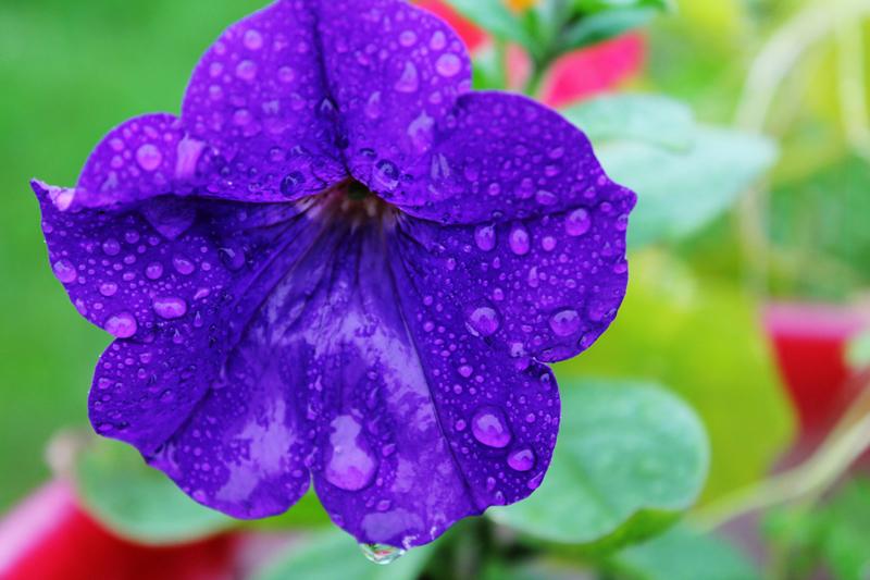 Какие цветы можно посадить под зиму - 20 однолетников-Петуния